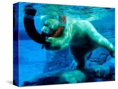 Polar Bear Underwater at Melbourne Zoo