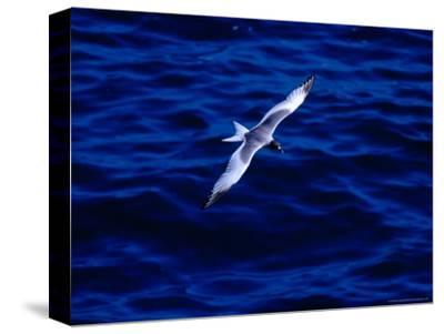 Swallow-Tailed Gull in Flight, South Plaza Island, Islas Plazas, Galapagos, Ecuador,