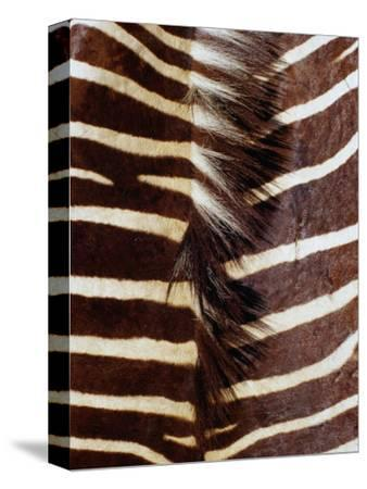 Zebra Skin Detail, Durban, Kwazulu-Natal, South Africa
