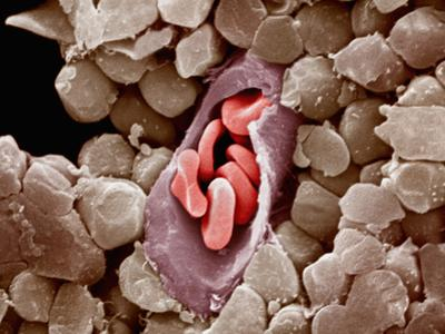 Capillary Cross-Section with Red Blood Cells or Erythrocytes Inside Capillaries by Richard Kessel