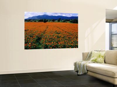 Field of Marigolds Near Mysore