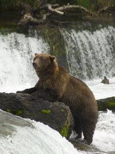 Brown Bear, Brooks Camp, Katmai National Park, Alaska, United States of America, North America by Richard Maschmeyer