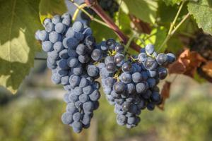 Grapes on vine, Alto Douro Wine Valley, UNESCO World Heritage Site, Portugal, Europe by Richard Maschmeyer