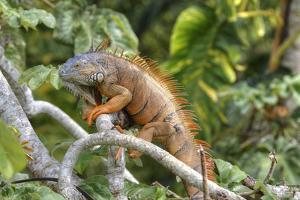 Green Iguana (Iguana Iguana), Green Iguana Project, San Ignacio, Belize, Central America by Richard Maschmeyer