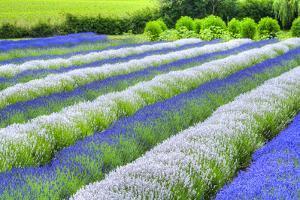 Growing White and Blue Lavender (Lavandula), Sequim, Olympic Peninsula by Richard Maschmeyer
