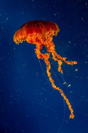 A Beautiful Orange Pacific Jellyfish by Richard McMillin