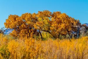 Beautiful Fall Foliage on Cottonwood Trees along the Rio Grande River in New Mexico. by Richard McMillin