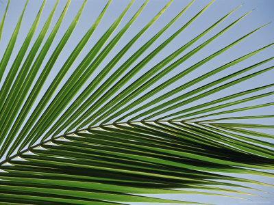Close-up of Palm Leaf at Ko Samet Island, Rayong, Thailand, Asia