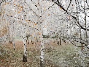 Frost-Covered Birch Trees, Town of Cakovice, Prague, Czech Republic, Europe by Richard Nebesky