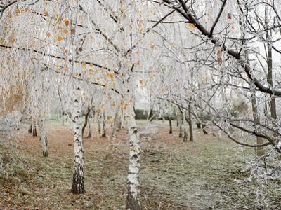 Frost-Covered Birch Trees, Town of Cakovice, Prague, Czech Republic, Europe