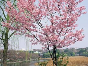 Spring Blossom and Lake at Ueno-Koen Park, Ueno, Tokyo, Japan by Richard Nebesky