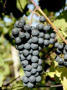 St. Laurent Wine Grapes in Vineyard Near Village of Kostelec, Brnensko, Czech Republic, Europe by Richard Nebesky
