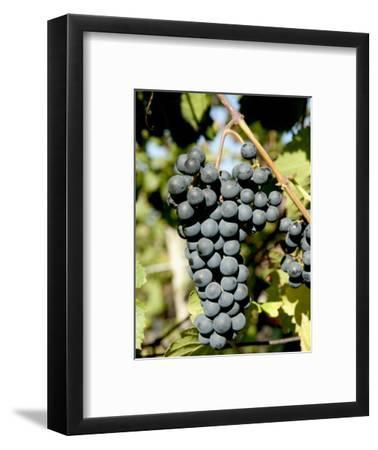 St. Laurent Wine Grapes in Vineyard Near Village of Kostelec, Brnensko, Czech Republic, Europe