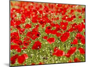 A Field of Poppies by Richard Nowitz