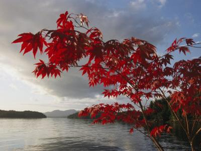 A Maple Tree in Fall Foliage Frames a View of Barnard Harbour by Richard Nowitz