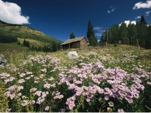 An Old Miners Cabin with Purple Asters in the Foreground by Richard Nowitz