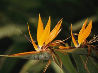 Bird of Paradise Flower by Richard Nowitz
