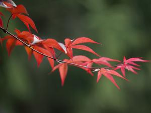 Japanese Maple Leaves in Spring by Richard Nowitz