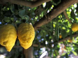Lemons Hanging from a Lemon Tree for Sale as Local Produce on the Amalfi Coast in Ravello, Italy by Richard Nowitz