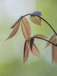 New Japanese Maple Leaves in Spring by Richard Nowitz