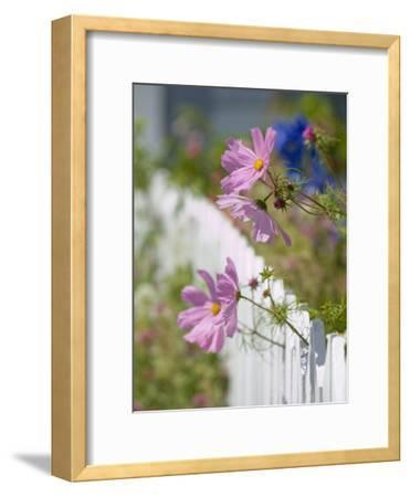 Pink Cosmos Flowers and a White Picket Fence