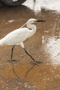 White Egret Walks around the Old Port of Casablanca by Richard Nowitz