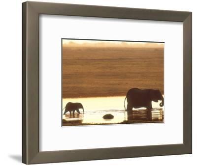 African Elephant, Crossing Chobe River, Botswana