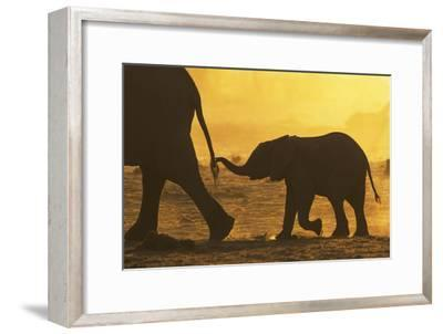 African Elephant (Loxodonta Africana) Calf Holding Mother's Tail, Khaudom Game Reserve, Namibia