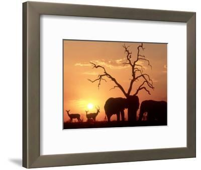 African Elephant, with Impala at Waterhole at Sunset, Botswana