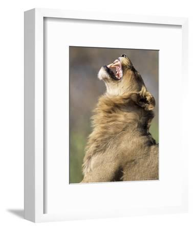 African Lion, Male Showing Flehmen Grimace, Botswana