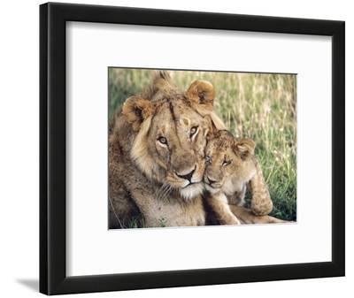 African Lion, Masai Mara Reserve, Kenya