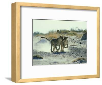 African Lion, Running, Namibia