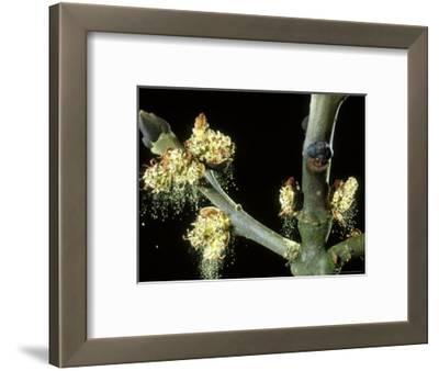 Ash, Male Flowers Shedding Pollen, Mid-Wales