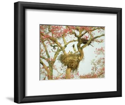 Jabiru Stork at Nest, Brazil