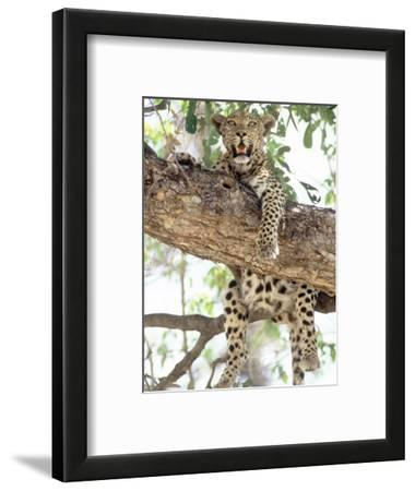Leopard, Resting in Tree During Heat of the Day, Botswana