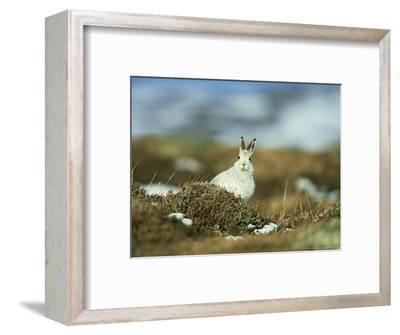 Mountain (Blue) Hare, Monadhliath Mtns, Scotland