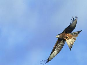 Red Kite, Flying Over Feeding Station, Powys, UK by Richard Packwood