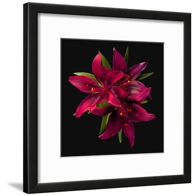 Asiatic Lily- Montenegro