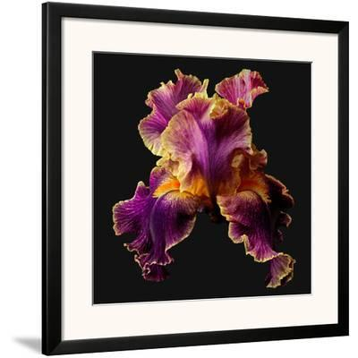 Tall Bearded Iris - Entagled