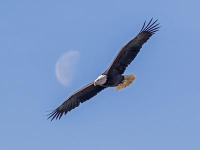 A bald eagle flies beneath the setting half moon.