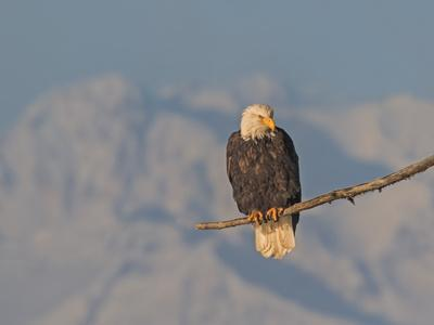 A bald eagle sits on a branch and watches for spawning Chum salmon on the Chilkat River.