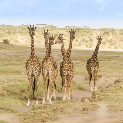 A herd of giraffes stop and watch for any threats as they approach their watering hole.