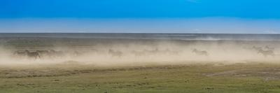 A herd of zebras running over a very dry savanna creating a dust storm.