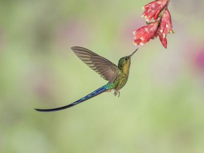 A Male Violet-Tailed Sylph Hummingbird Is About to Extract Nectar from a Flower