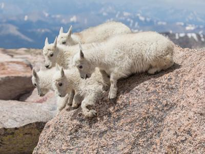 Five Mountain Goat Kids Prepare to Jump Off of a Rock