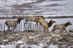 Group of Elk Easily Jump a Ranch Fence as They Stampede across the Range by Richard Seeley