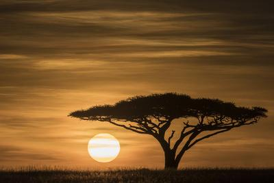 The sun rises over the Serengeti grassland under an Acacia tree.