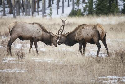 Two Bull Elk Clash Antlers and Joust for Dominance over the Herd of Elk Cows