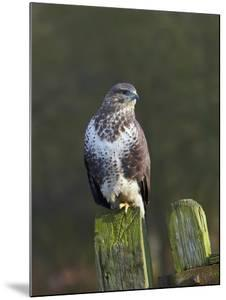 Common Buzzard (Buteo Buteo) Perched on a Gate Post, Cheshire, England, UK, December by Richard Steel