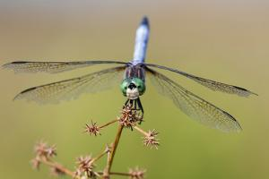 Blue Dasher male in wetland Marion County, Illinois by Richard & Susan Day